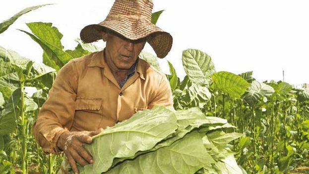 Farmer with tobacco leaves
