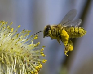 abejas-2