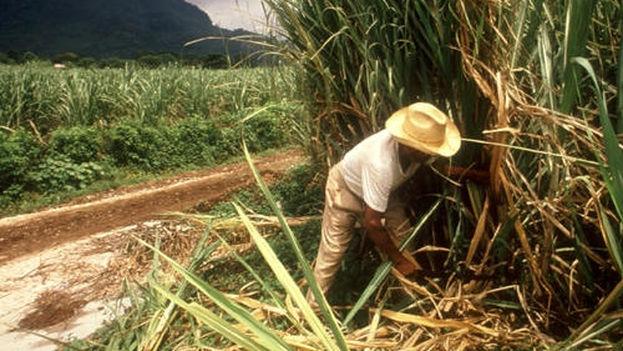 Cane cutting in Cuba (Conexion Cubana)
