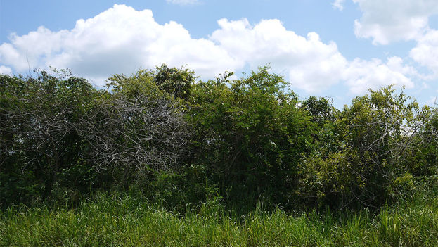 The invasive marabou plant takes over Cuba's fertile land. (14ymedio)