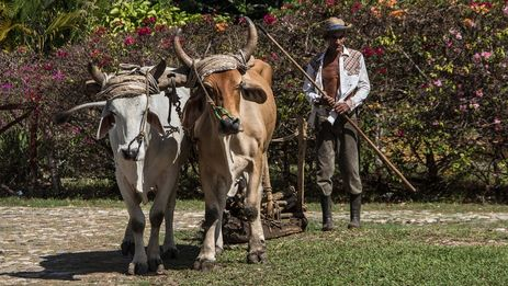 Cuba farmer working land with oxen