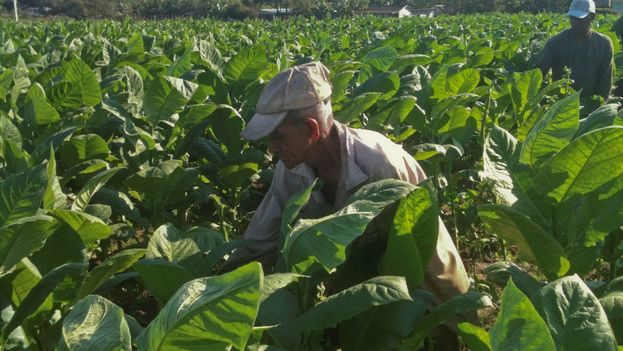 Justo García Hernández working in his tobacco field. (14ymedio)