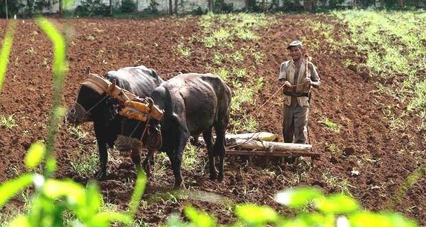 Plowing in Cuba with oxen. (From On Cuba)