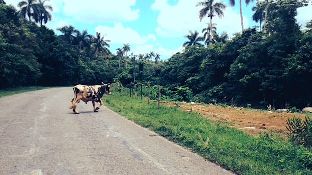 A steer on the road. (14ymedio)
