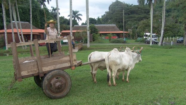 When Raul Castro promoted the leasing of idle land to the farmers, he invited them to make it productive with oxen. (14ymedio)
