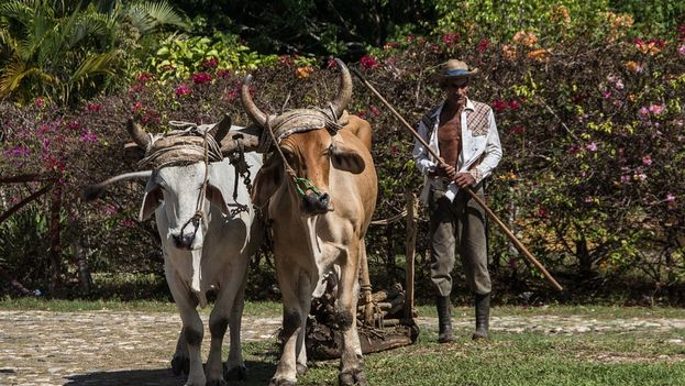 A Cuban farmer plows the land with oxen (CC)