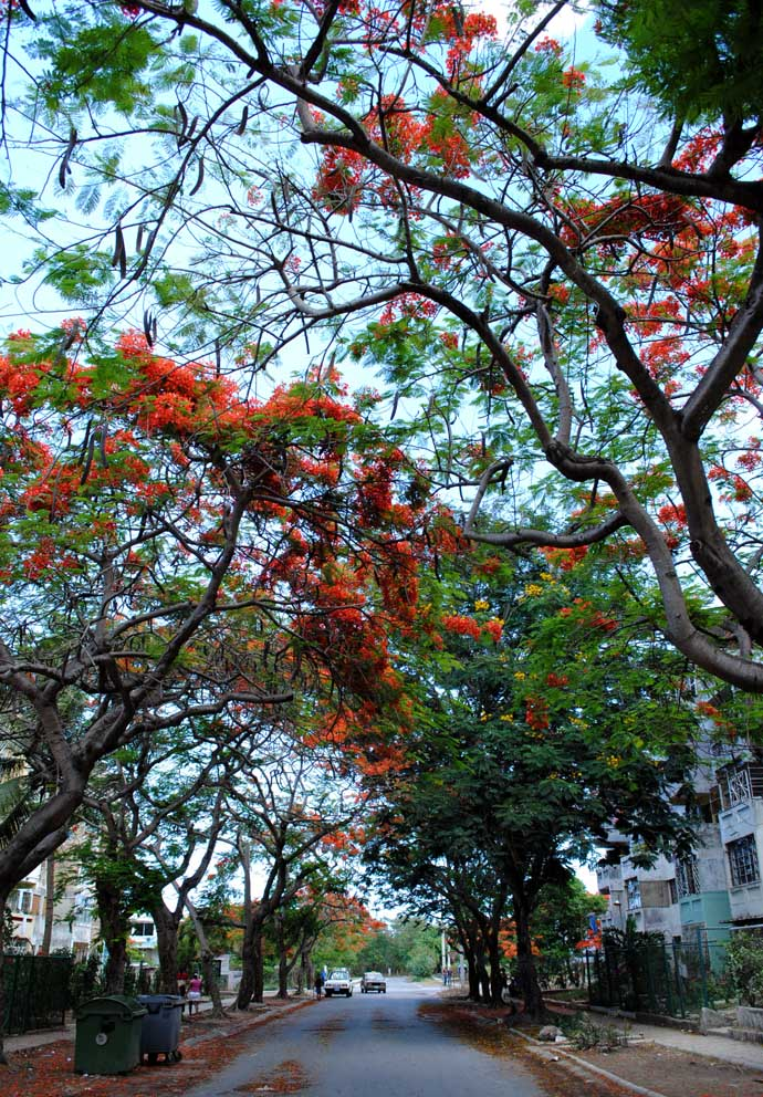 Flame trees in Havana, dropping their petals int he street. Source: Caridad, Havana Times