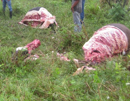 Remains of a freshly slaughtered cow (photo taken from caracoldeagua-arnoldo.blogspot.com)