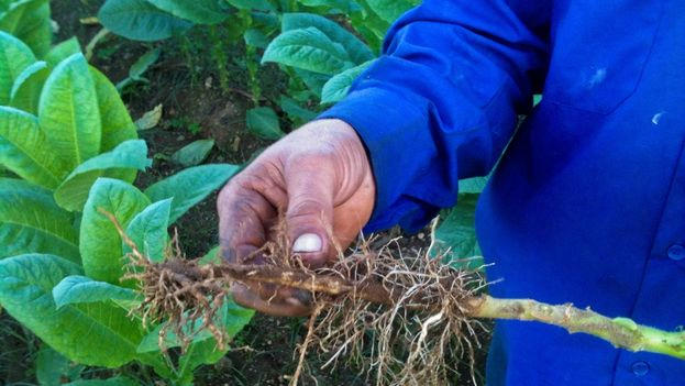 """Tobacco farmer William Delgado shows the effects of the disease known as """"black shank."""" (14ymedio)"""