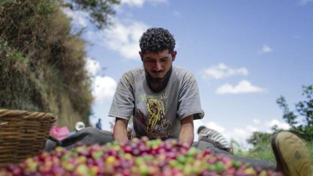 A grower selects mature coffee. (EFE)